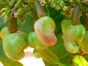 Cashew nuts are a major source of amino acids