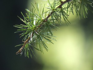 Extracto de corteza de pino trata eficazmente la disfunción eréctil
