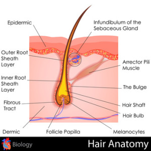 anatomy of a human hair