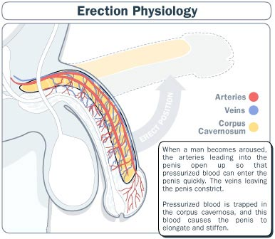 erection physiology