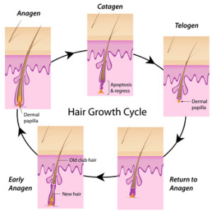 the five stages of hair growth explained
