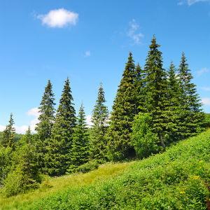 extract of pine bark