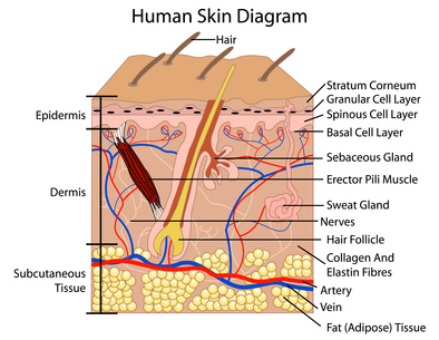 skin diagram project amino acids for healthy skin and hair alopecia skin diagram #5