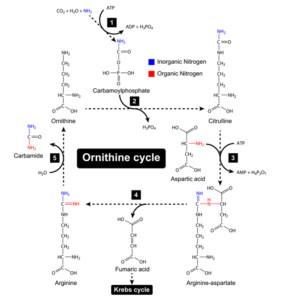 urea cycle and Krebs cycle with Arginine and Cirulline